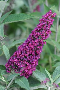 Buzz™ Velvet Butterfly Bush, Buddleja