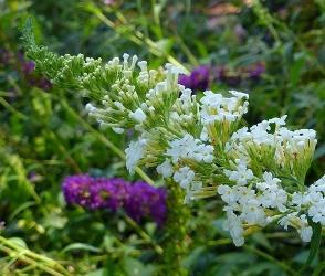 White Profusion Butterfly Bush