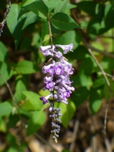 Lindley's Butterfly Bush