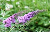 Lo' & Behold™ Lilac Chip Butterfly Bush, Buddleja
