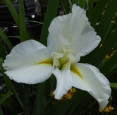 Cajun Whirl Louisiana Iris (White, Mid Season)
