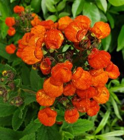 Kentish Hero Pocketbook Plant, Slipper Flower, Bush Slipperwort