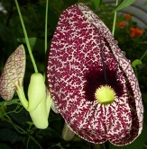 Calico Flower, Elegant Dutchman's Pipevine, Pelican Flower, Aristolochia