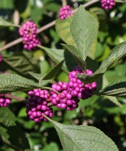 American Beautyberry, French Mulberry, Wild Goose's Berry, American Mulberry