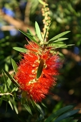 Hannah Ray Weeping Bottlebrush