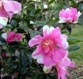 Dream Quilt™ Sasanqua Camellia