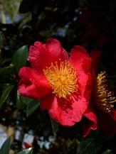 Yuletide Sasanqua Camellia