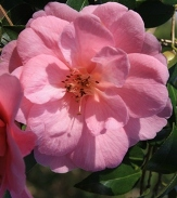 Donation Camellia, Camellia x williamsii 'Donation'