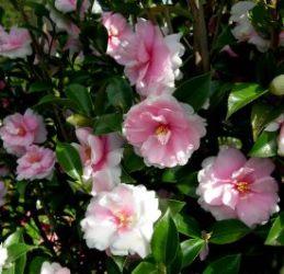 Dream Weaver™ Sasanqua Camellia