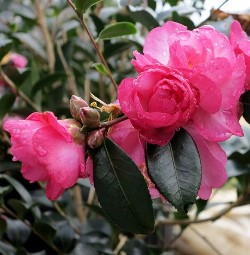 Feathered Edge Sasanqua Camellia