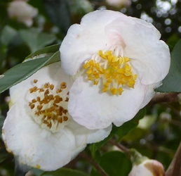 Fragrant Fairies Sasanqua Camellia