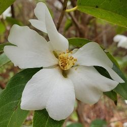 Yuhsiensis Fragrant Camellia