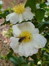 French Vanilla Sasanqua Camellia