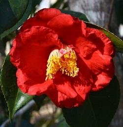 Guillio Nuccio Camellia
