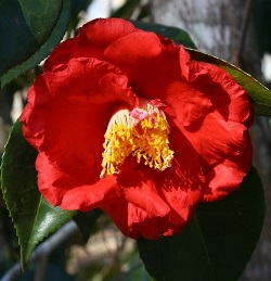 Camellias - Late Season Flowering Japonicas