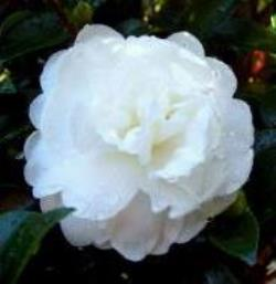 October Magic® Bride™ Camellia