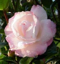 October Magic® Dawn™ Camellia