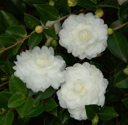 October Magic® White Shi-Shi™ Camellia, Camellia sasanqua 'Green 02-004'