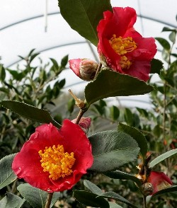 Yuletide Season Sasanqua Camellia