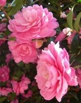 Susy Dirr Sasanqua Camellia