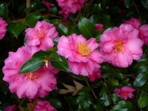 Shi-Shi Gashira Sasanqua Camellia, Beni Kan Tsubaki Sasanqua Camellia