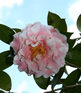 Betty Sheffield Funny Face Camellia