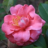 Charlean Variegated Camellia