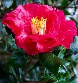 Nuccio's Holly Bright Camellia