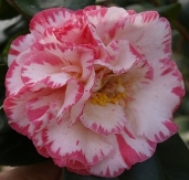 Camellias - Midseason Flowering Japonicas