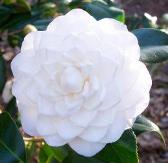 Sea Foam Camellia