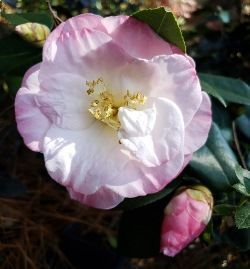 April Remembered Camellia, Camellia japonica 'April Remembered'