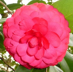 C.M. Hovey Camellia, Colonel Firey Camellia, Camellia japonica 'C.M. Hovey'