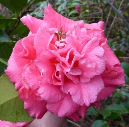 Daikagura Camellia