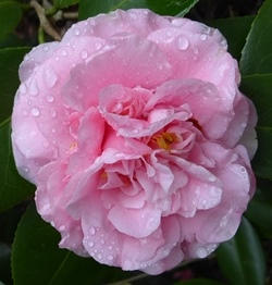 Camellias - Pink Flowered Japonicas