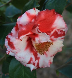 Camellias - Variegated and Multi-Colored Japonicas