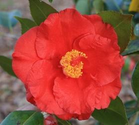 Grand Slam Camellia