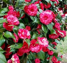 Imbricata Camellia