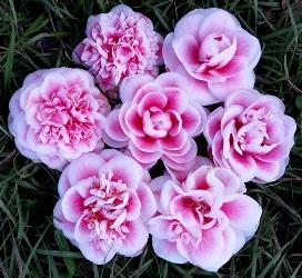 Irrational Exuberance Camellia