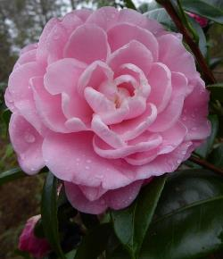 Camellias - Early Season Flowering Japonicas