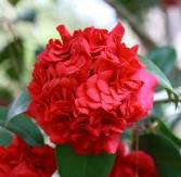 Camellias - Red Flowered Japonicas