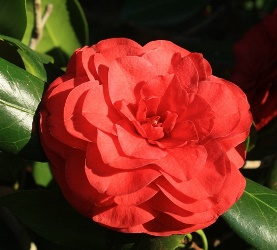 Rose Perfect Camellia, Camellia japonica 'Rose Perfect'