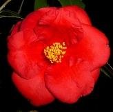 Royal Velvet Camellia