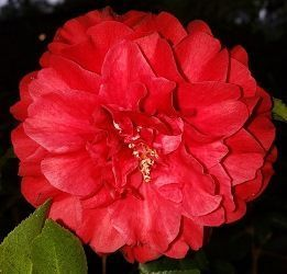 Satsuma Kurenai Camellia