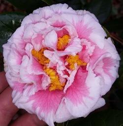 Tomorrow's Dawn Bessie Camellia