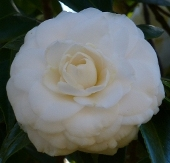 Camellias - White Flowered Japonicas