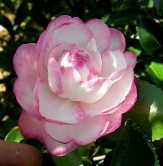 Moonshadow™ Sasanqua Camellia