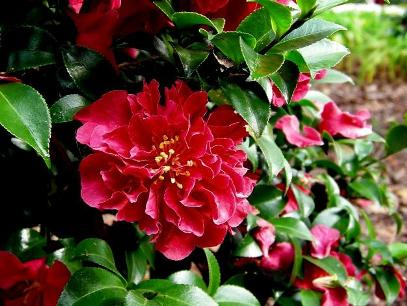 October Magic® Ruby Sasanqua Camellia