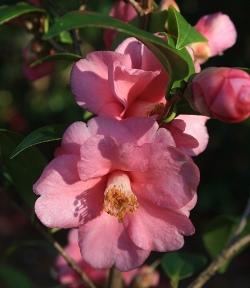 Gay Baby Camellia