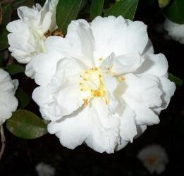 Mine-No-Yuki Sasanqua Camellia, Snow on the Mountain, White Doves, Snow on the Ridge Sasanqua Camellia, Camellia sasanqua 'Mine-No-Yuki, C. sasanqua 'Snow on the Mountain'