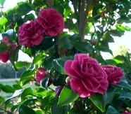 Purple Haze Sasanqua Camellia